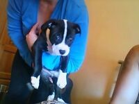 pedigree 9 week old male staff for sale .