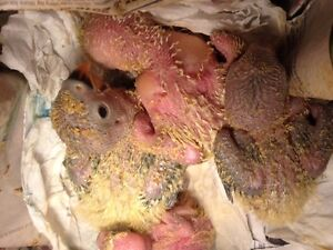 Baby hand feed lovebird for sale