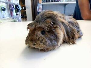 Baby Guinea Pigs Elizabeth South Playford Area Preview