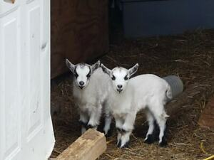 2 Male Pygmy Goats-----ONE LEFT!