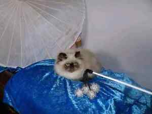Persian kittens (himilayans) Taree Greater Taree Area Preview