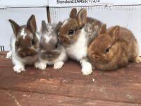 Baby Netherland Dwarf Bunnies Ready Now