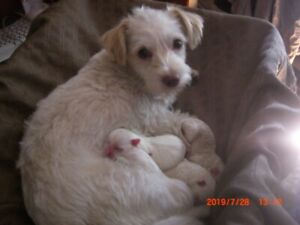 Puppies, Maltese Poodle cross pups, & Super Spice