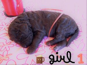 Standard poodle puppies, non-shedding & hypoallergenic!