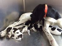 GERMAN SHORT-HAIRED POINTER PUPS