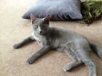 russian blue kitten 14 weeks old
