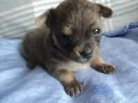 lilac male chihuahua puppy ready in 2 weeks