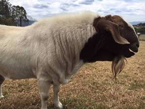 Goats Boar cross breed Albion Park Shellharbour Area Preview