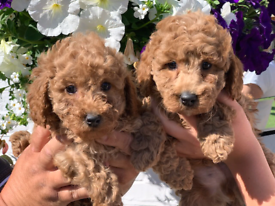 Mininature red poodle pups
