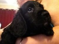 Kc cocker spaniel puppys ready now reduced