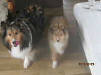 3yr old blk/white chihuahua and 3yr old Sable Sheltie