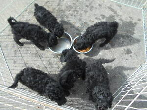 Mini Poodle puppies,and  Shipoos and ,Chihuahuas