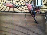 Pink Bourke Parakeets