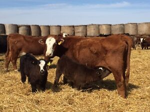 30 cow calf pairs for sale