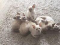 Beautiful Classic Siamese Kittens