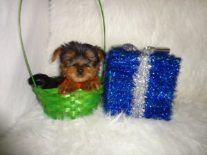 Toy morkie puppies