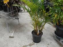 Advanced Palms for tropical look Ipswich Ipswich City Preview