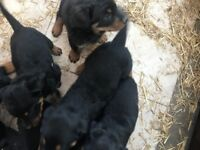 Rottweiler Puppies for Sale!!!