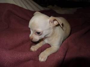Chihuahua puppies Derri Derra North Burnett Area Preview
