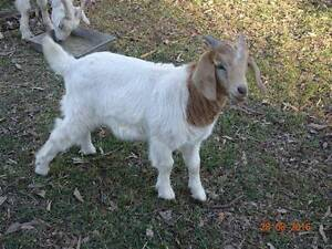 Boer Male Goat Upper Caboolture Caboolture Area Preview