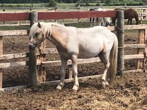 project or companion welsh pony for sale