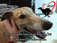 Maritime Greyhound Adoption Adopt or Foster