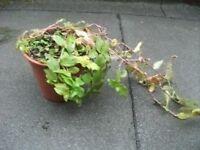 Plant Tradescantia .
