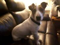 Jack Russell dog for sale