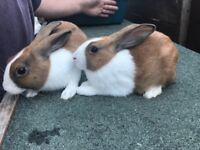 Two 10 week old baby boy rabbits