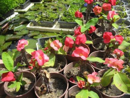 Cheap Crown of Thorn Plants