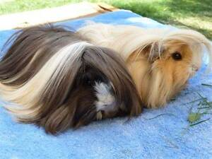 PURE LONG HAIRED GUINEA PIG BABIES READY TO GO NOW - all ages Murray Bridge Murray Bridge Area Preview