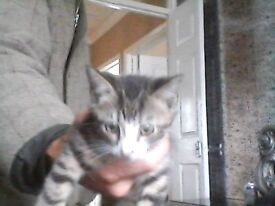 bengle cross kittens