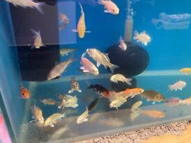 Assorted Pond Fish Koi/Orfe/Goldfish