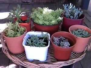 Wide Variety of Succulent Plants Mosman Mosman Area Preview