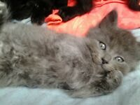 Beautiful kittens with long hair for sale