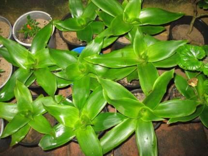 Callisia fragran plants as CANCER prevention