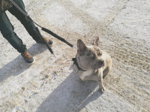 Almost 2 blue merle frenchie for sale