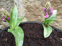 Hardy Orchid/Dactylorhiza