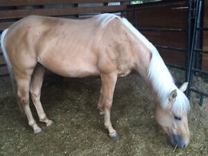 3 beautiful registered QH for sale