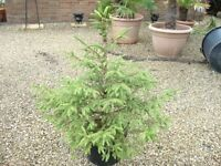 Christmas Tree with roots in pot