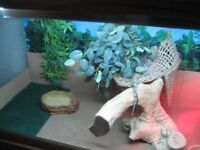 bearded dragon and vivarium plus lovely cabinet with four cupboards