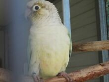 SILVER & BLUE BREEDING PAIR GREENCHEEK CONURES Upper Coomera Gold Coast North Preview