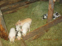 berkshire X yorkshire weaner piglets ready by begin may