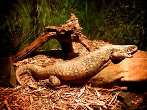 Varan de la savane famille du dragon komodo