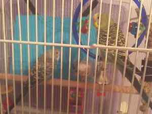 3 healthy young budgies for sale plus cage and supplies