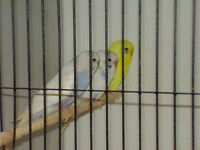 baby budgies plus cages for sale