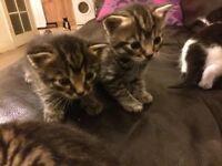 Beautiful tiger kittens
