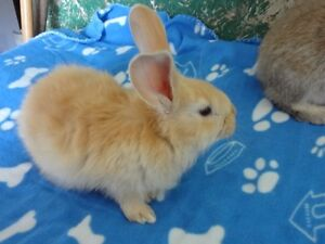 Beautiful Flemish Giant mix New Zealand Bunnies For Sale