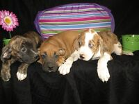 3/4 Boxer Puppies -females with the flower and males by stripes!