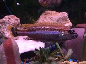 Melanochromis Cichlid for sale or trade